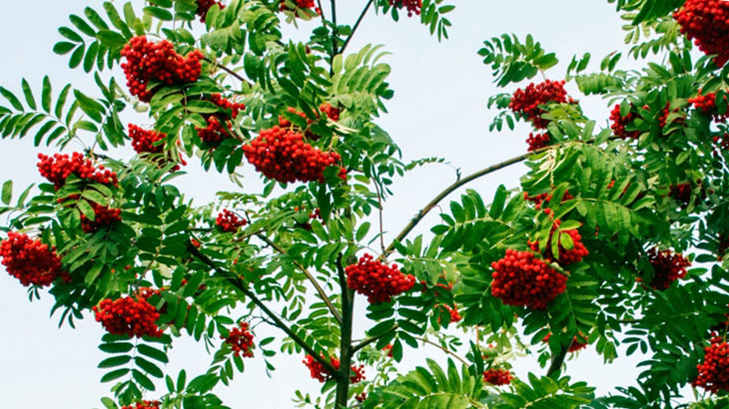 рябина-дерево