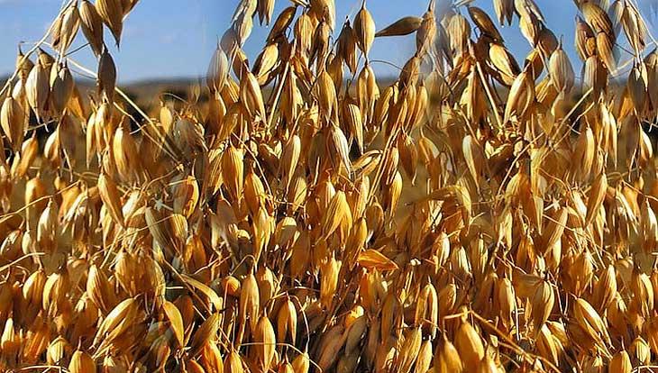 Польза овсяной крупы: 5 причин регулярно есть кашу из овсянки