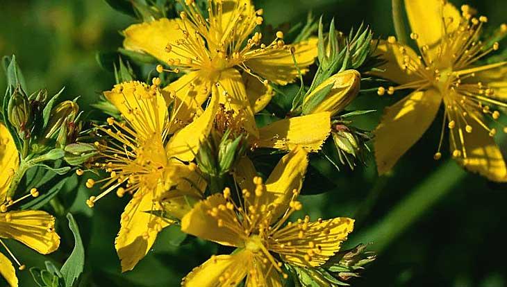 зверобой. цветы растения