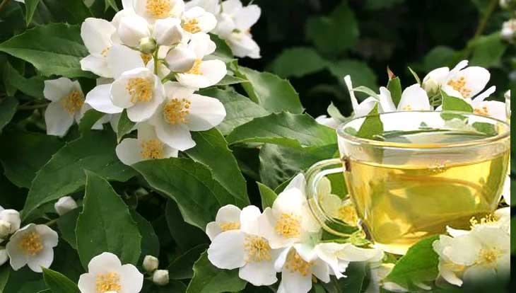 Жасминовый чай, польза, аромат, свойства, противопоказания, процесс заваривания