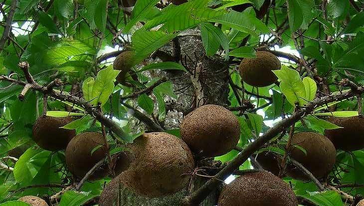 Бразильский орех, полезные свойства, противопоказания