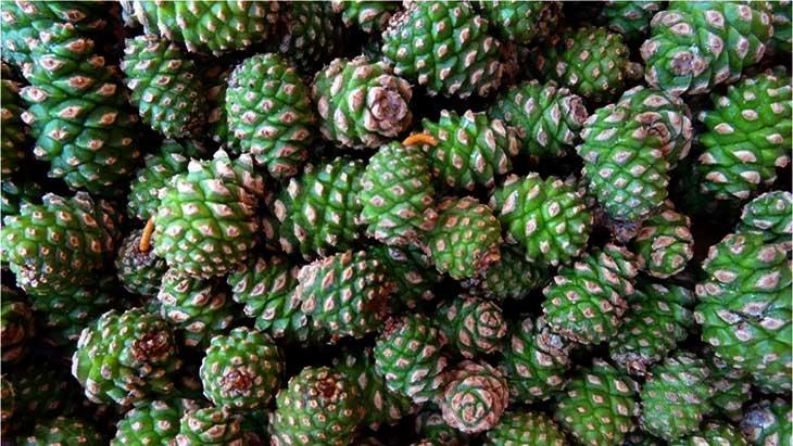 для настойки зеленые шишки сосны
