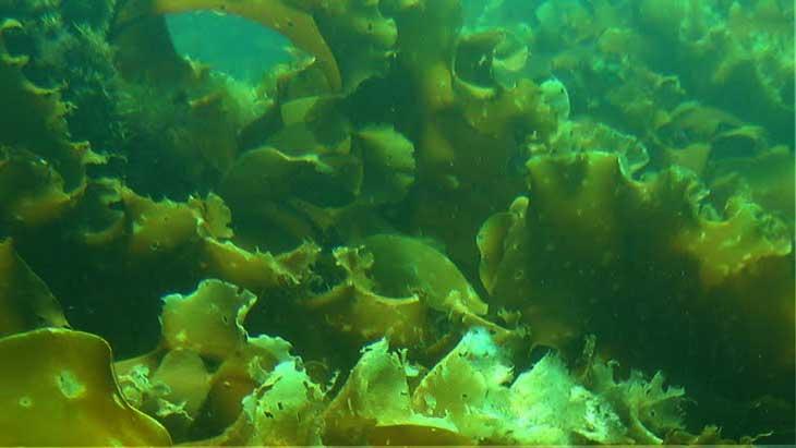 Морская капуста, состав, польза и противопоказания